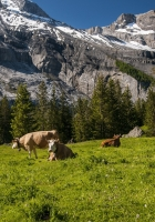 switzerland, mountains, cows
