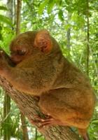 tarsier, tree, cuddle