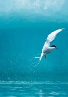 tern, arctic, bird