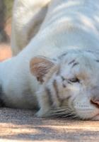 tiger, albino, baby