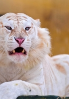 tiger, albino, grin