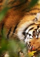 tiger, big cat, muzzle