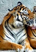 tiger, couple, predators