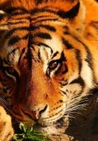 tiger, eyes, brooding