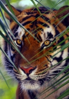 tiger, face, leaves