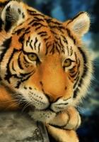 tiger, good, old