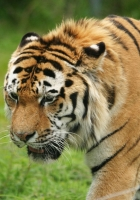 tiger, grass, big cat