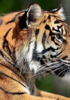tiger, lying, face