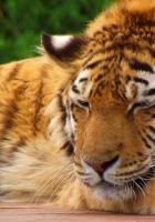 tiger, muzzle breaks, striped
