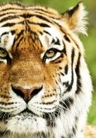 tiger, muzzle, predator