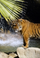 tiger, rocks, waterfalls