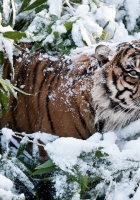 tiger, snow, branches