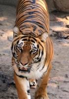tiger, striped, predator