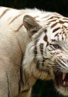tiger, teeth, albino