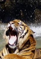 tiger, teeth, water
