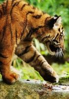 tiger, walk, care