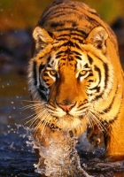 tiger, water, spray