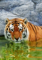 tiger, water, stone
