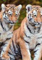 tigers, couple, sit
