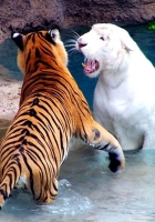 tigers, water, fighting