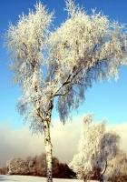 tree, birch, field