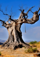 tree, dead, rope