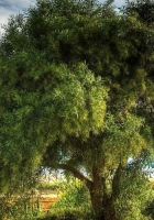 tree, krone, summer