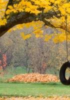 tree, maple, autumn