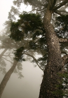 tree, pine, mighty