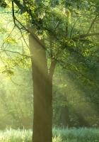 trees, beams, sun