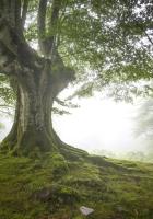 trees, fog, wood