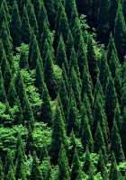 trees, green, coniferous