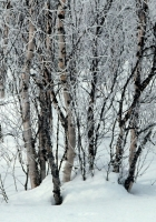 trees, snow, snowdrifts