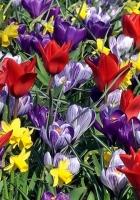 tulips, crocuses, daffodils