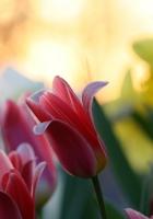 tulips, daffodils, flower