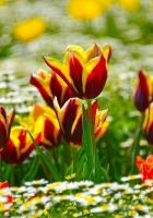 tulips, daisies, flowerbed