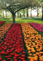 tulips, different, beds