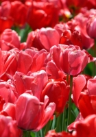 tulips, field, petals