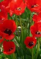 tulips, flowers, loose