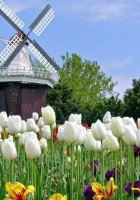tulips, flowers, mill