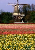 tulips, flowers, mill