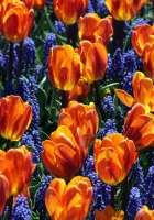 tulips, flowers, muscari