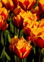 tulips, flowers, two-color