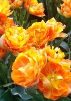 tulips, flowers, unusual