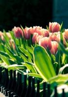 tulips, flowers, wall