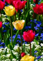 tulips, forget-me, flowers