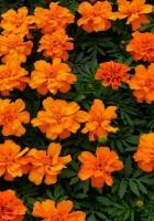 velvet ribbon, flowers, flowerbed