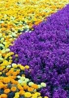 velvet ribbon, salvia, flowers