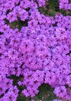 verbena, flowers, flowerbed