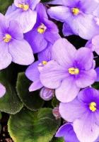 violets, flowering, indoor